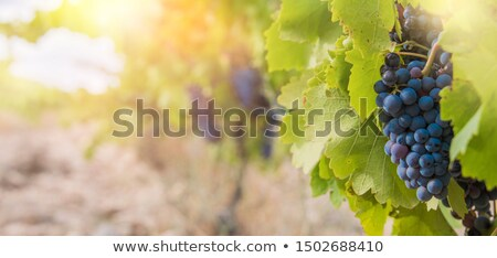 Picking Red Grapes From The Vine Stock photo © MilanMarkovic78