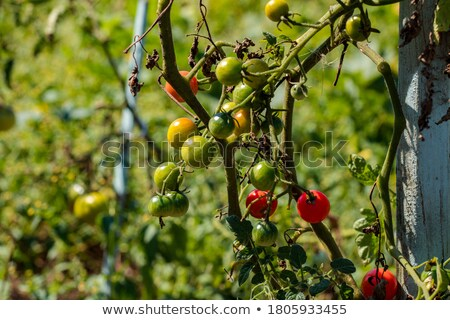 Ripe Cherry Berry on Green Stems with Small Leaf Stock photo © robuart