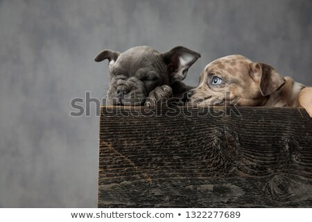 two cute american bully puppies resting in a wooden box Stock photo © feedough