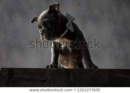ストックフォト: アメリカン · 子犬 · 犬 · 立って · 先頭 · 木製