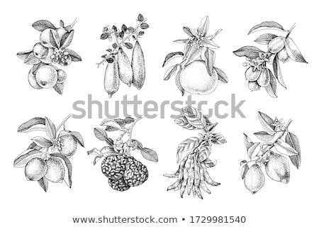 Exótico jugoso frutas vector aislado agrios Foto stock © robuart