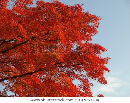 Maple tree turn its leaves to red in autumn Stock photo © galitskaya