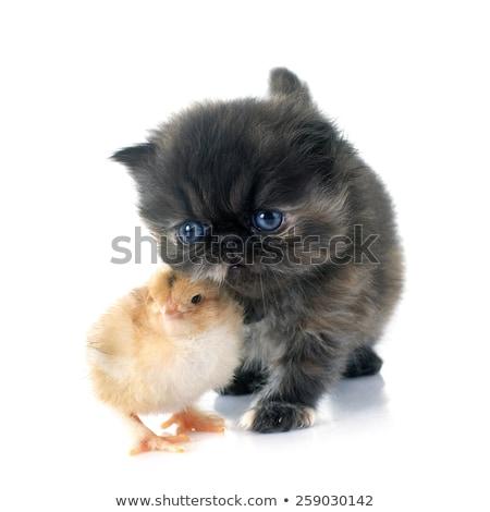 Kiscica csirke baba bámul egyéb izolált Stock fotó © ajn
