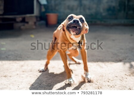 biting pit bull stock photo © cynoclub