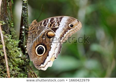 Baykuş kelebek makro atış şube Stok fotoğraf © macropixel