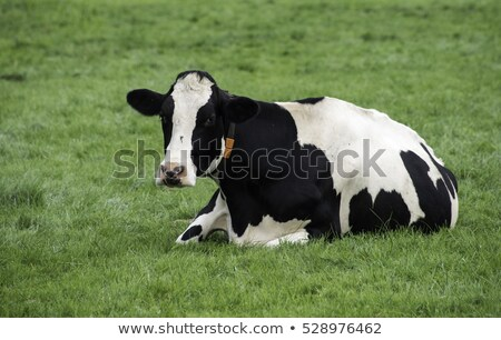 Holland cow resting on green grass Stock photo © neirfy
