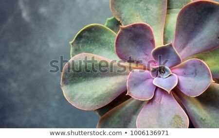 Succulente impianto verde natura foglia pietra Foto d'archivio © prill