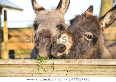 two donkeys snuggling stock photo © tepic