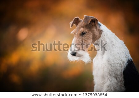 Fox Terrier Wire in the autumn garden Stock photo © CaptureLight