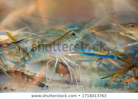 гигант пресноводный человека белый рыбы Сток-фото © stoonn