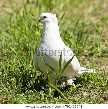 piccione · erba · verde · amore · uccello · ritratto · animali - foto d'archivio © kyolshin
