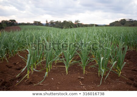 Onion, garlic sprouts  red soil field Stock photo © lunamarina