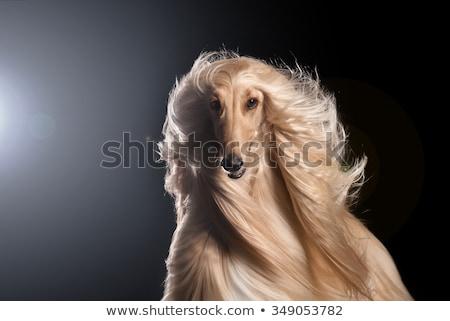 Сток-фото: собака · гончая · белый · студию · мужчины · мех
