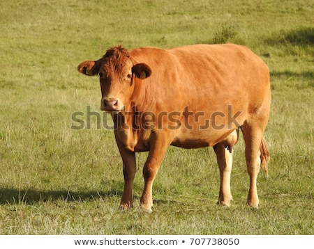 Danish cows  Stock photo © jeancliclac