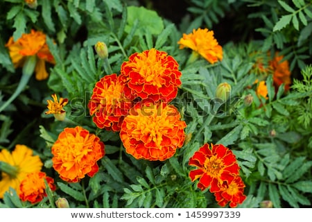 Planting Marigolds Stock photo © songbird