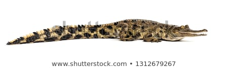 African Crocodile Stock photo © LittleLion