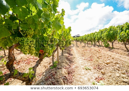 Vineyard in south of Portugal Stock photo © inaquim
