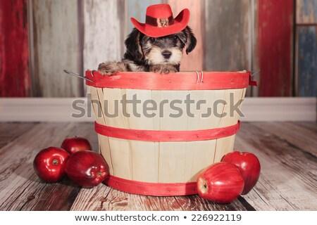 Cute Teacup Yorkie Puppy in Adorable Backdrops and Prop for Cale Stock photo © tobkatrina