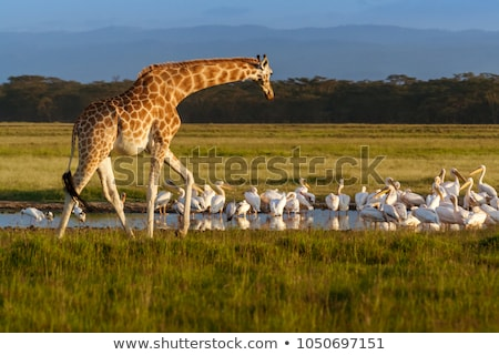 Giraffen foto hout natuur afrika Stockfoto © Dermot68