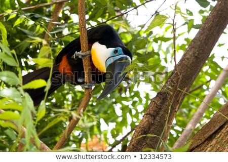 Channel-billed Toucan (Ramphastos vitellinus) Stock photo © dirkr