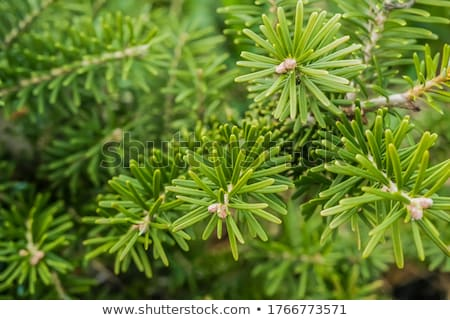 Korean Fir  Stock photo © LianeM