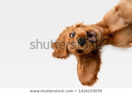 Inglês cachorro filhotes de cachorro adormecido mão três Foto stock © silense