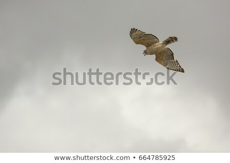 hawk flying over the water stock photo © master1305