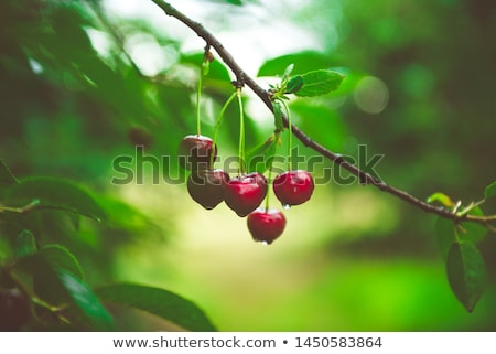 Stock photo: Cherries on a tree