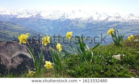 Flowers of daffodils in the mountains Stock photo © Kotenko