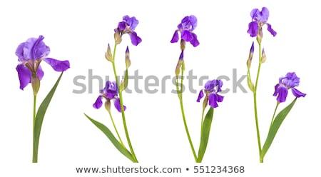 Iris · fiore · viola · bianco · giardino · verde - foto d'archivio © meinzahn