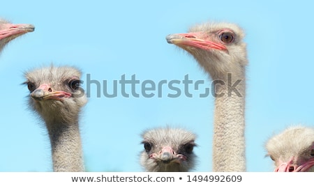Ostriches and summer nature Stock photo © dmitroza