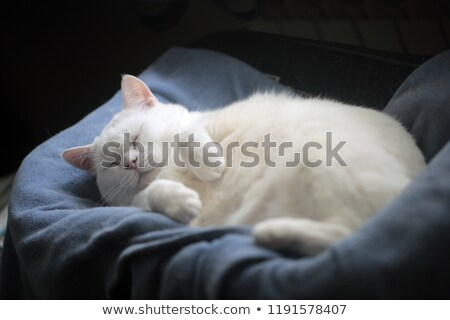 fat cat with text stock photo © bluering