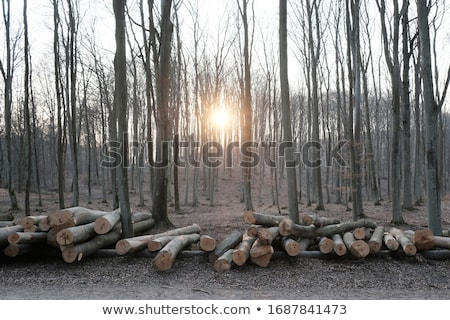 öğleden sonra orman güneş ağaç doğa Stok fotoğraf © hamik