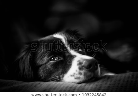 mixed breed black dog portrait in a dark photostudio stock photo © vauvau