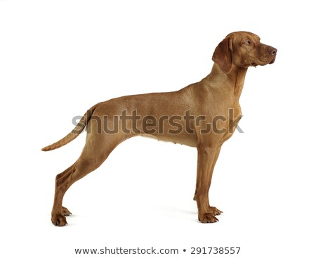 Hungarian vizsla standard in a white background Stock photo © vauvau