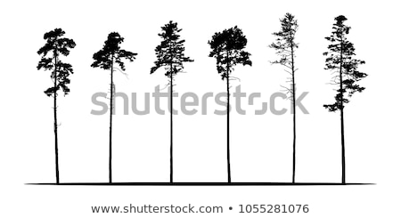 Tall Pine Trees Stock photo © njnightsky