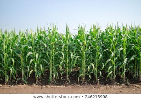 Młodych kukurydza rozwój wyschnięcia środowiska susza Zdjęcia stock © stevanovicigor