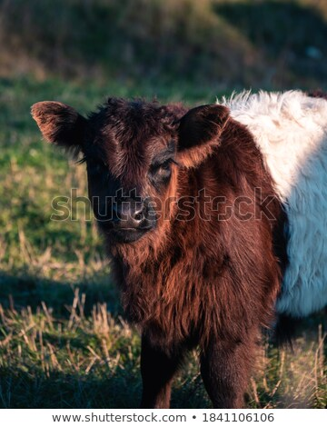brown galloway cow in sunset Stock photo © compuinfoto