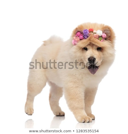 Stock photo: cute furry dog with colorful flowers headband looks to side