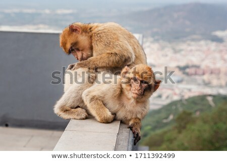 monkey is looking for fleas from another monkey Stock photo © galitskaya