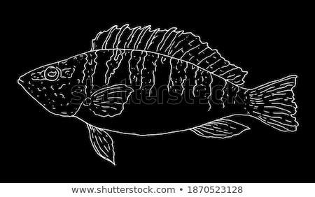 Basse fruits de mer vecteur monochrome illustration poissons Photo stock © robuart