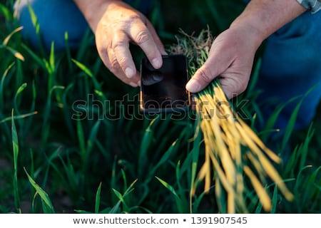 Agriculture, farmer examining wheat plant in field Stock photo © simazoran