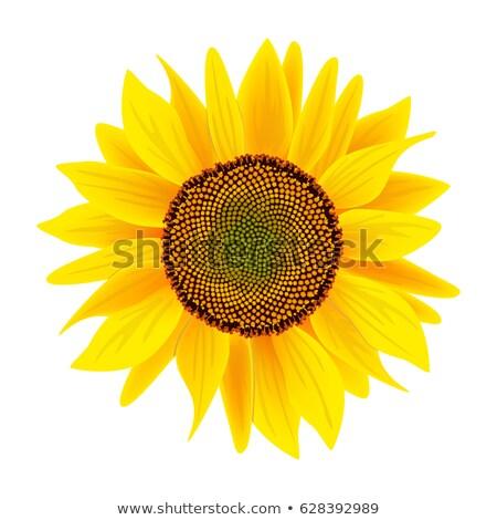 Valósághű gyönyörű fényes citromsárga napraforgó virág Stock fotó © MarySan