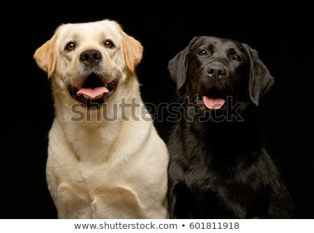 Dwa godny podziwu labrador retriever posiedzenia biały Zdjęcia stock © vauvau