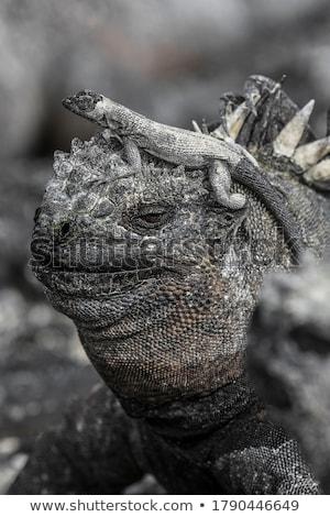 Engraçado animais marinha iguana cabeça bonitinho Foto stock © Maridav