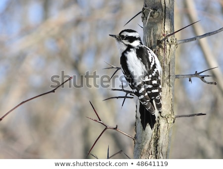 Downy Woodpecker (Female) Stock photo © stockfrank