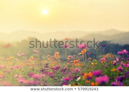 цветок закат завода желтый Сток-фото © photoblueice