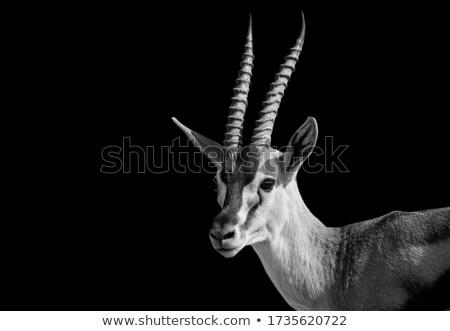 portrait  impala  Stock photo © pavelmidi