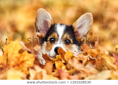 Autumn puppy  stock photo © mariematata