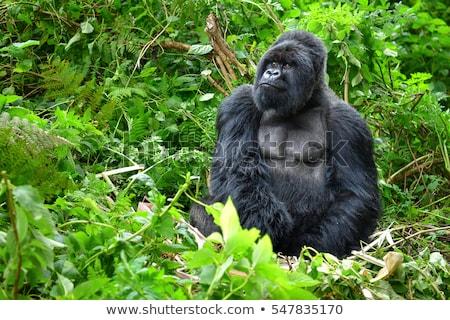 Gorilla Oeganda berg wolk bos afrika Stockfoto © prill